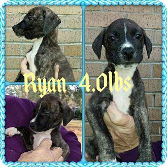 Labrador Retriever/Hound (Unknown Type) Mix Puppy for adoption in Shaw AFB, South Carolina - Ryan
