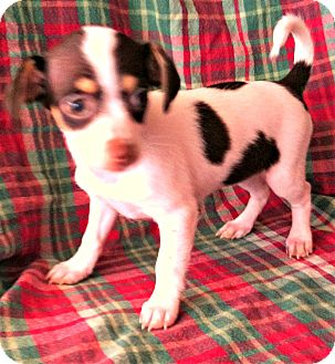 Fox Terrier (Smooth) Mix Puppy for adoption in La Verne, California - 4 Dots