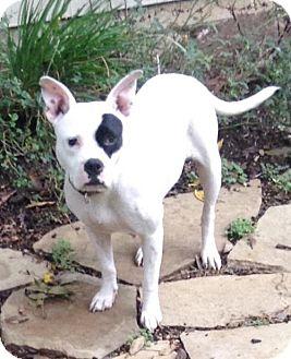 Pit Bull Terrier Dog for adoption in Dallas, Texas - Starla