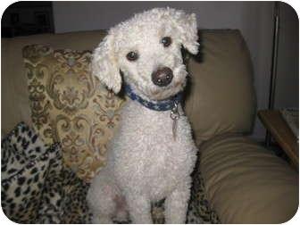 Poodle (Miniature)/Bichon Frise Mix Dog for adoption in Culver City, California - Jesse