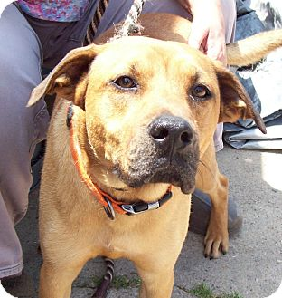 Boxer/Labrador Retriever Mix Dog for adoption in Glastonbury, Connecticut - BUDDY BOY