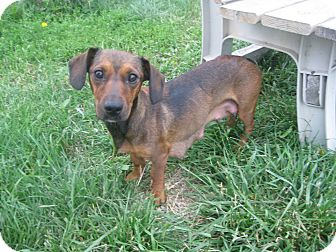 Dachshund Mix Dog for adoption in Prole, Iowa - Tanya