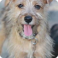 Adopt A Pet :: Bindy - Norwalk, CT
