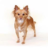 Adopt A Pet :: Scarlette - Bloomington, MN