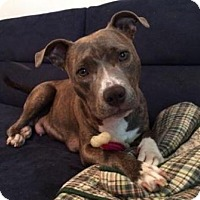 Adopt A Pet :: Gypsy (American Staffordshire) - Matthews, NC