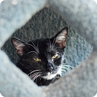 Adopt A Pet :: Grapes - Chicago, IL