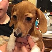 Adopt A Pet :: Gunnar Greetings - Houston, TX