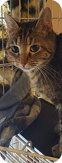 Calico Cat for adoption in New Bedford, Massachusetts - Sandy