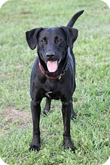 Labrador Retriever Mix Dog for adoption in Loxahatchee, Florida - Beau 187