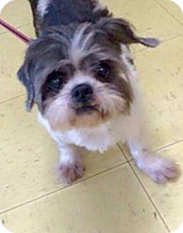 Shih Tzu Mix Dog for adoption in Summerville, South Carolina - Henri
