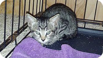 Domestic Shorthair Kitten for adoption in New Smyrna Beach, Florida - Dinky