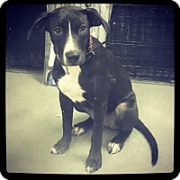 Labrador Retriever Mix Puppy for adoption in Grand Bay, Alabama - Keely