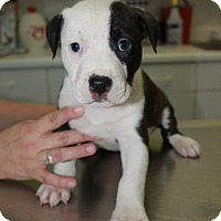 Adopt A Pet :: A Rose Puppy 1 - Pompano Beach, FL