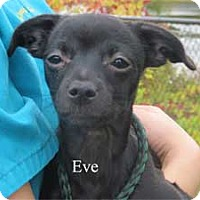 Chihuahua Mix Puppy for adoption in Warren, Pennsylvania - Eve