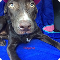 Adopt A Pet :: Cheyenne meet me 10/28 - Manchester, CT