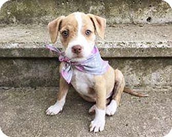 Terrier (Unknown Type, Small) Mix Puppy for adoption in Racine, Wisconsin - Bianca