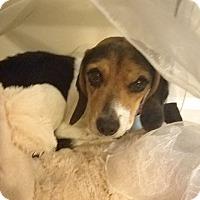 Beagle Mix Dog for adoption in Cincinnati, Ohio - Hope