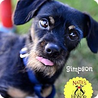 Australian Terrier Mix Dog for adoption in Bradenton, Florida - Simpson