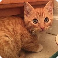 Adopt A Pet :: Kitten O'Brien - Gainesville, FL