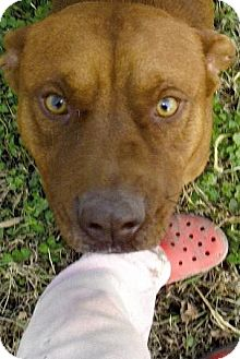 Pit Bull Terrier Mix Dog for adoption in Moulton, Alabama - Dan