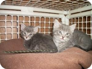 American Shorthair Kitten for adoption in Santa Monica, California - Misha