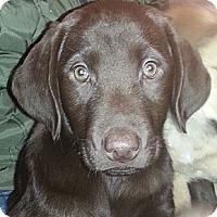 Adopt A Pet :: male Choc. Lab pups! - Chicago, IL