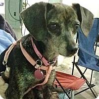 Adopt A Pet :: Cinnamon - PA - Jacobus, PA