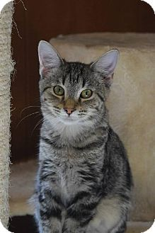 Domestic Shorthair Cat for adoption in Bluefield, West Virginia - Bunny