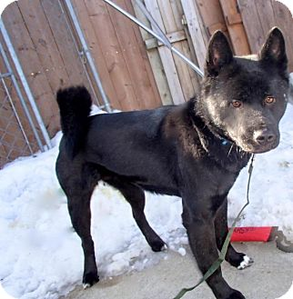 Akita Dog for adoption in Toms River, New Jersey - Kissy