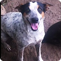 Rat Terrier/Cattle Dog Mix Dog for adoption in Bogalusa, Louisiana - Sasha