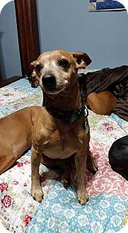 Miniature Pinscher Dog for adoption in Crestview, Florida - Dollar