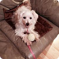 Maltese/Tea Cup Poodle Mix Dog for adoption in Durham, North Carolina ...