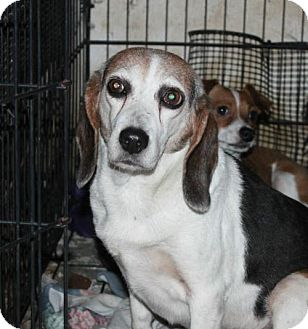 Beagle Dog for adoption in Crandall, Georgia - Bonnie
