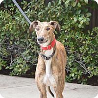 Adopt A Pet :: Dottie - Walnut Creek, CA