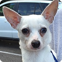 Chihuahua Dog for adoption in geneva, Florida - Reed