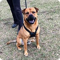 Adopt A Pet :: Kong - Shelby, MI