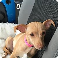 Adopt A Pet :: Minni - Las Vegas, NV