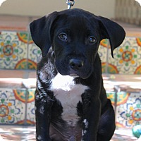 Adopt A Pet :: Provolone - Los Angeles, CA