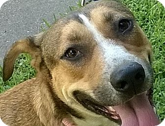 Shepherd (Unknown Type)/Boxer Mix Dog for adoption in Dallas, Texas - Sophie