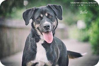 Bernese Mountain Dog/Labrador Retriever Mix Dog for adoption in Webster, Texas - Belle