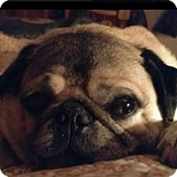 Pug Dog for adoption in Bellbrook, Ohio - Popeye