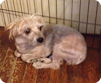 Yorkie, Yorkshire Terrier Mix Dog for adoption in Memphis, Tennessee - Forrest
