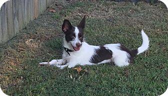 Chihuahua/Wirehaired Fox Terrier Mix Puppy for adoption in Staunton, Virginia - Suri
