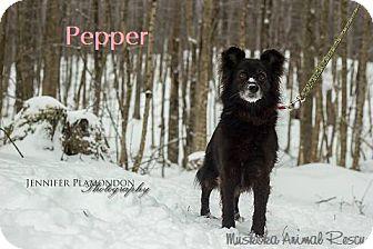Schipperke/Eskimo Dog Mix Dog for adoption in Huntsville, Ontario - Pepper - Beautiful Soul!