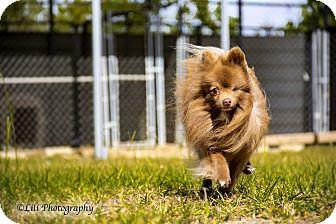 Pomeranian Dog for adoption in Warner Robins, Georgia - Kojack