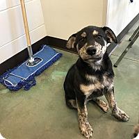 Adopt A Pet :: Balto - Edgewood, NM