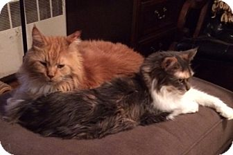 Maine Coon Cat for adoption in Ashland, Massachusetts - Lucy and Wally - Courtesy Post