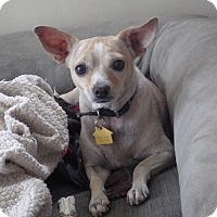 Adopt A Pet :: Twinkle Toes - Quail Valley, CA