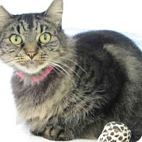 Maine Coon Cat for adoption in Carlsbad, California - SIENNA