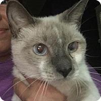 Siamese Cat for adoption in Landenberg, Pennsylvania - Sparkle